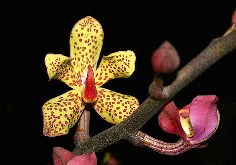 File:Vanda-lissochiloides.jpg