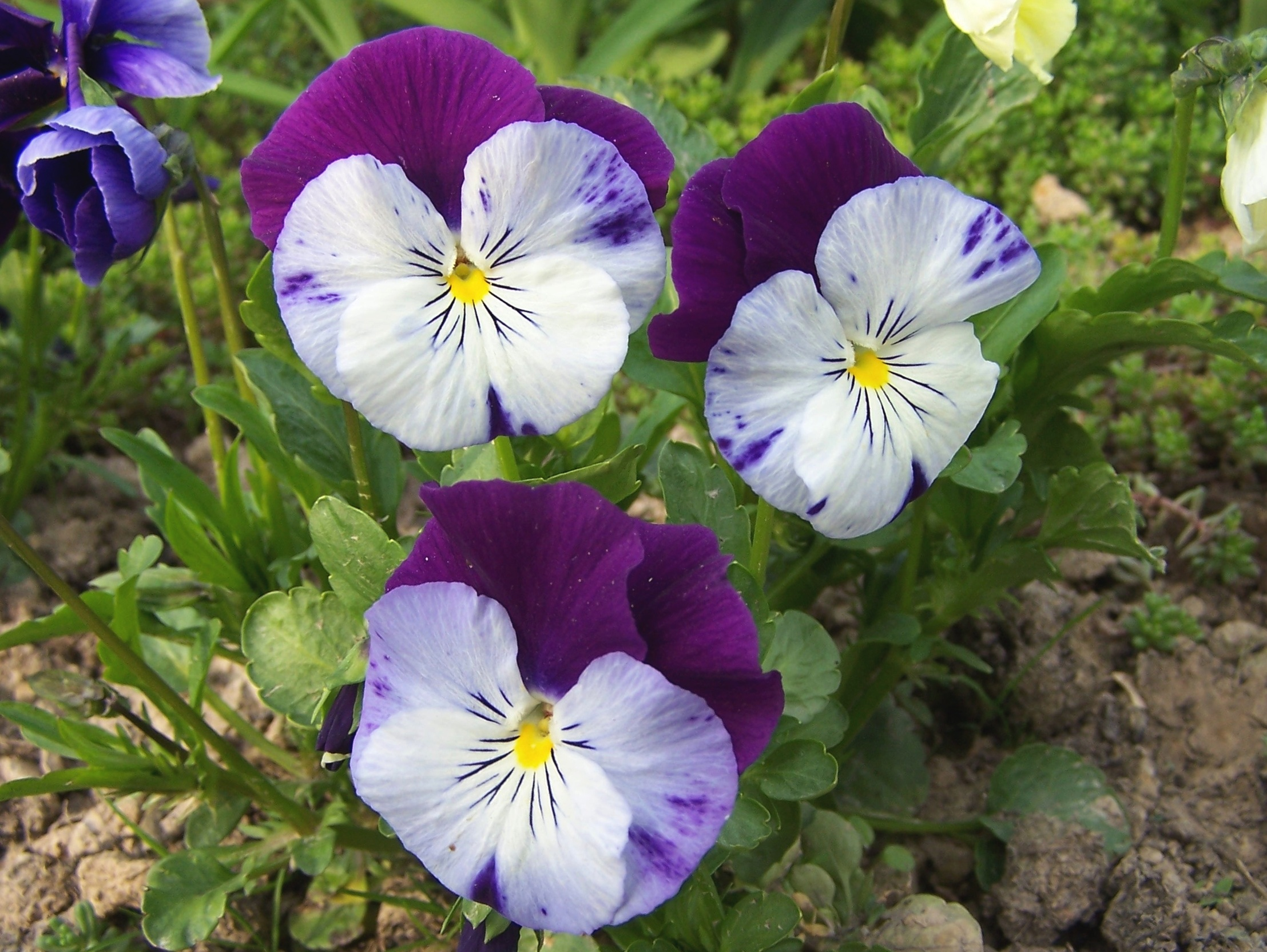 fileviola x wittrockiana a1jpg wikimedia commons
