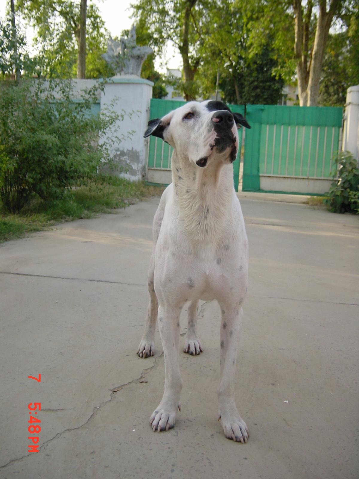 Pitbull Vs Dogo Vs Bully Kutta Picarena Image Match Pitbull Vs   Dog ...