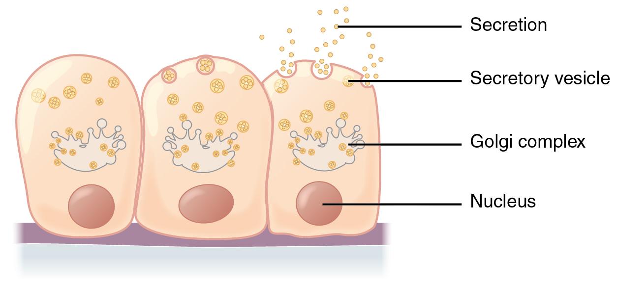 Merocrine exocytosis