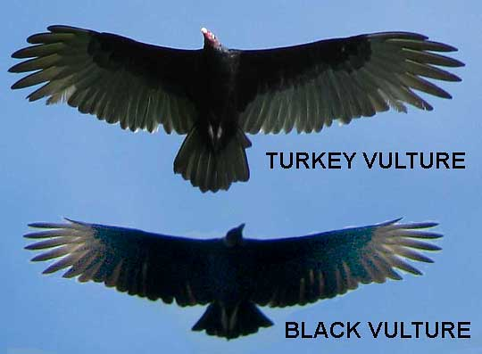 http://upload.wikimedia.org/wikipedia/commons/f/f0/America_Black_Vulture-Turkey_Vulture-silhouettes.jpg