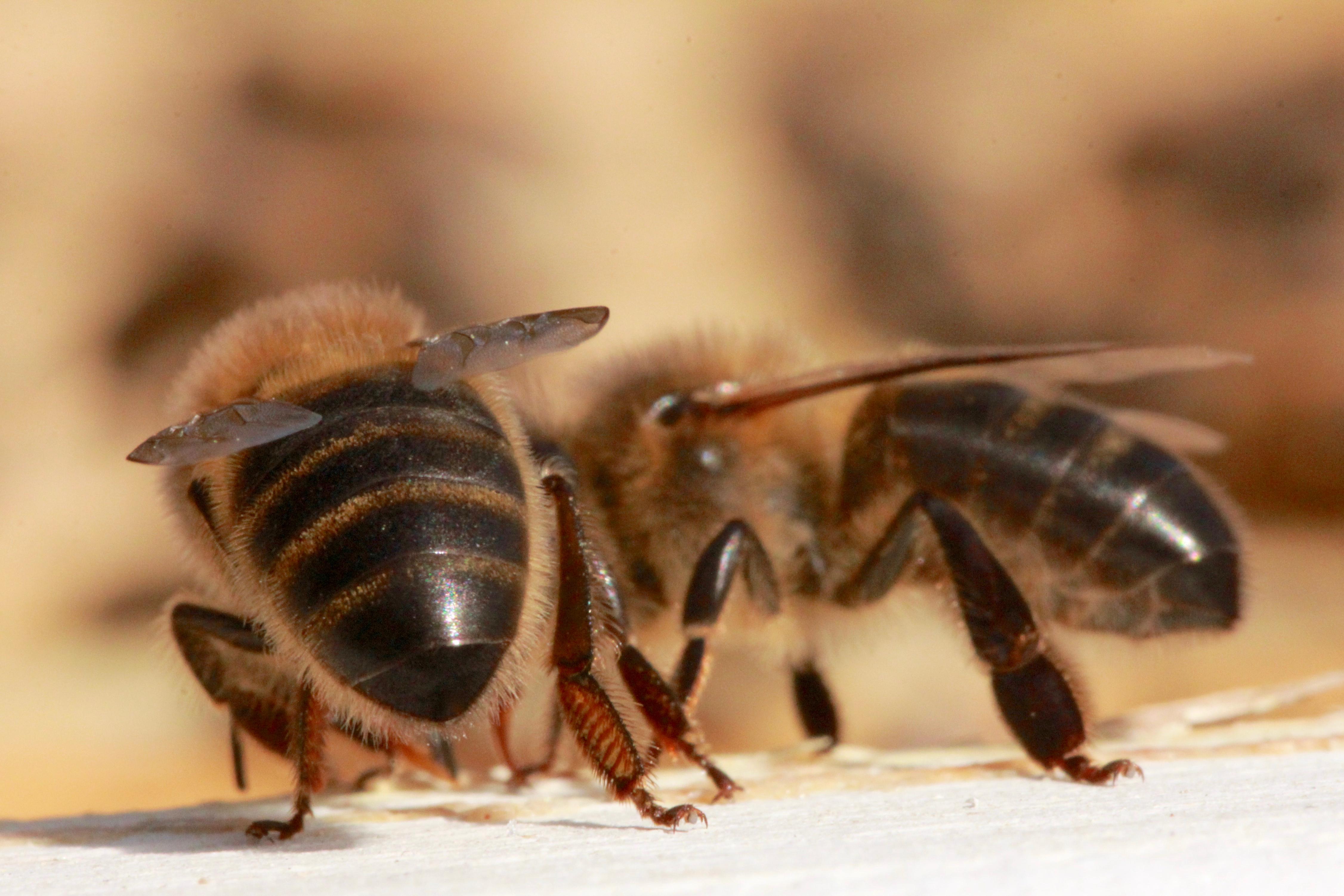 lebensleistung einer honigbiene