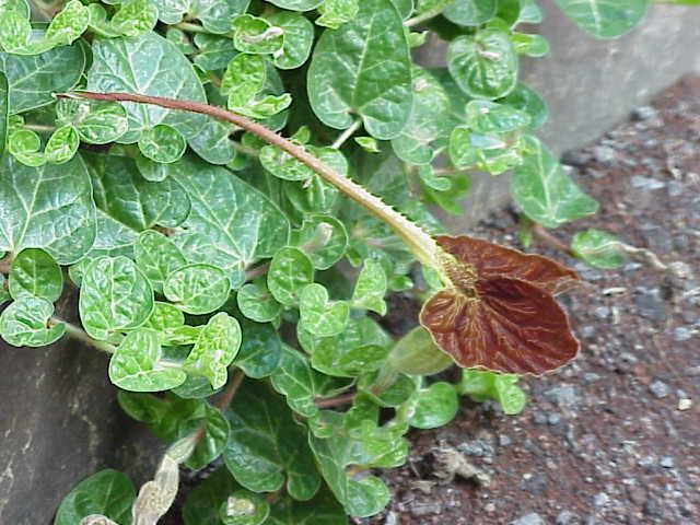 Tình yêu cây cỏ ĐV2 - Page 8 Aristolochia_lindneri6