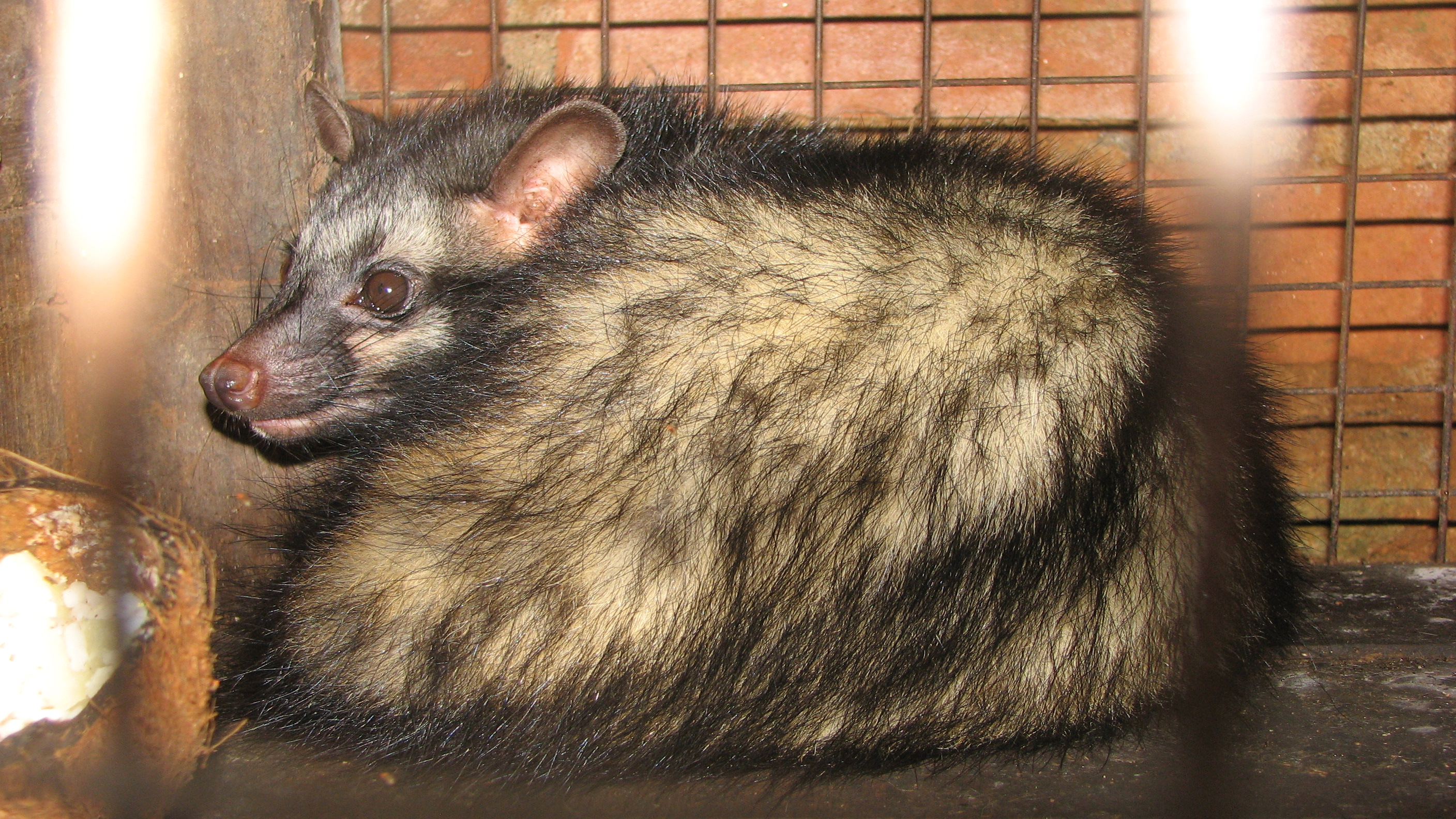 File Asian Palm Civet In Cage Jpg Wikimedia Commons