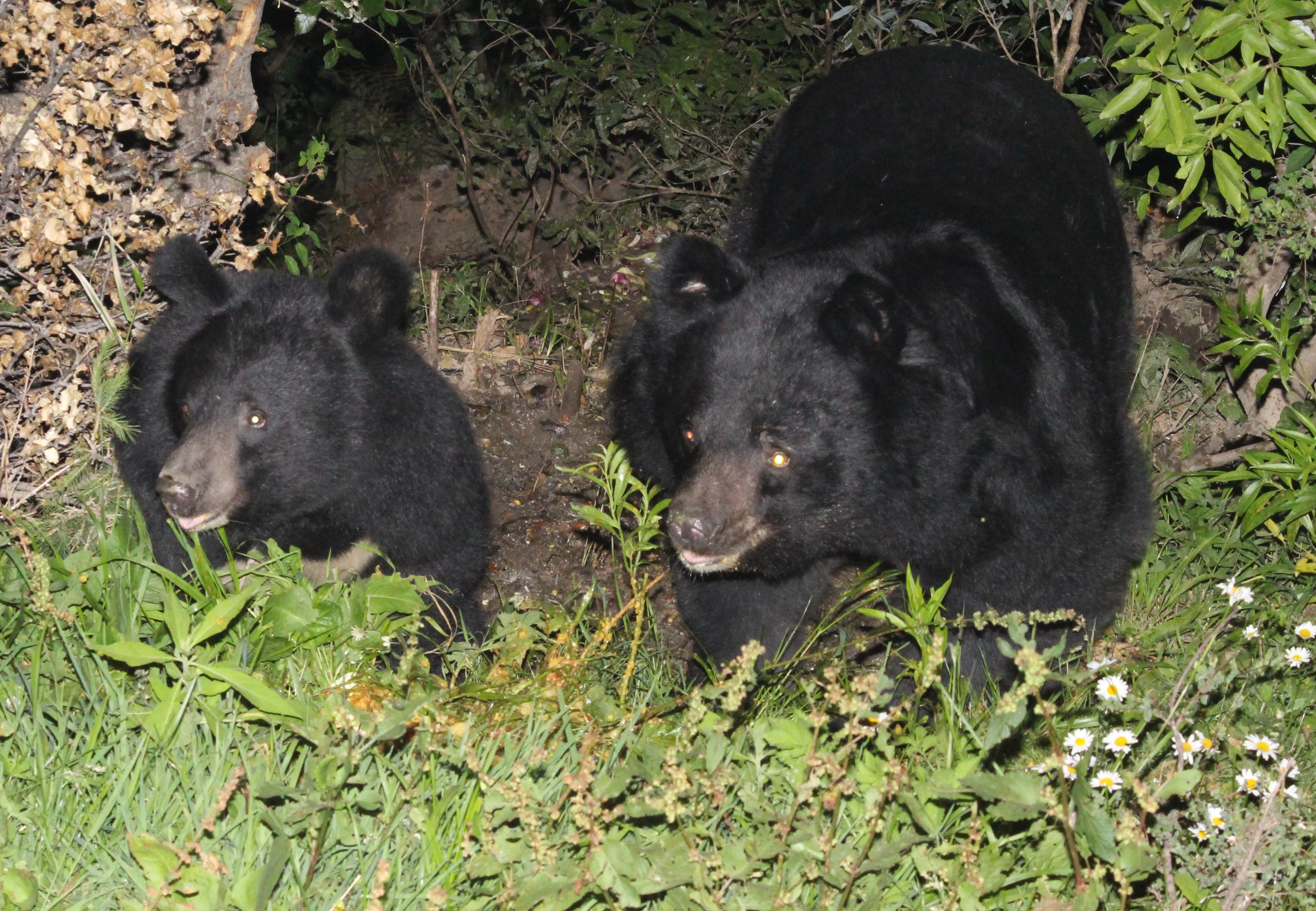 file asiatic black bear by chandresh lodhiya jpg wikimedia commons