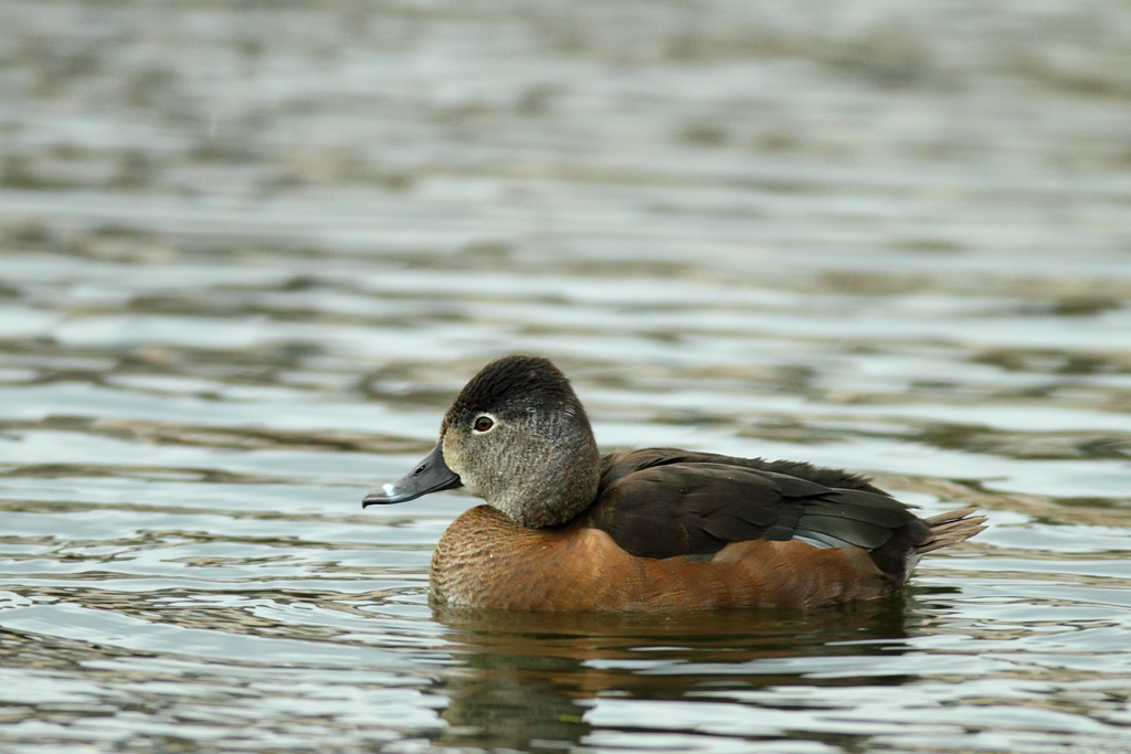 Ring Necked Duck Flapping Wings
