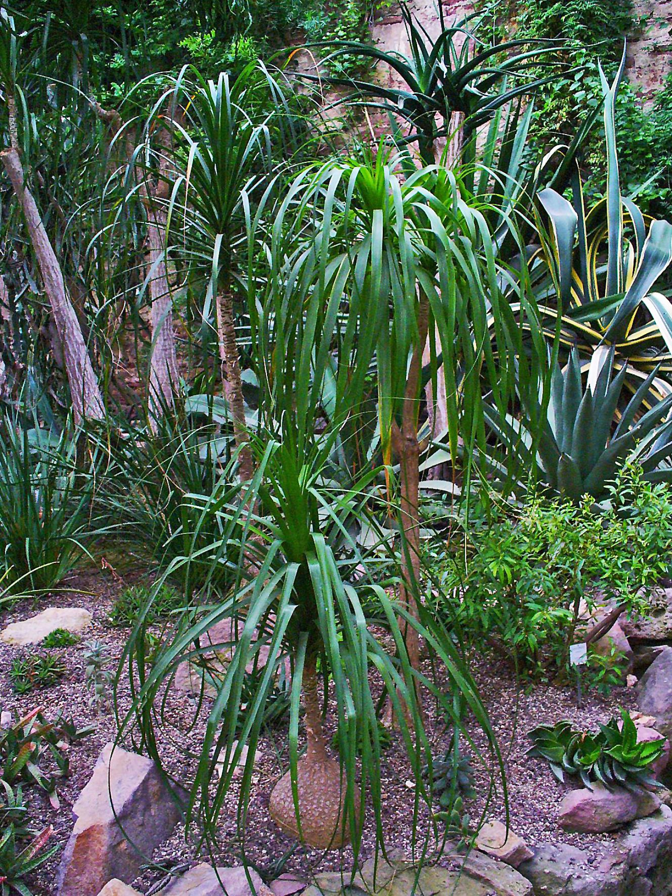 File beaucarnea recurvata 002 jpg wikimedia commons for Beaucarnea recurvata
