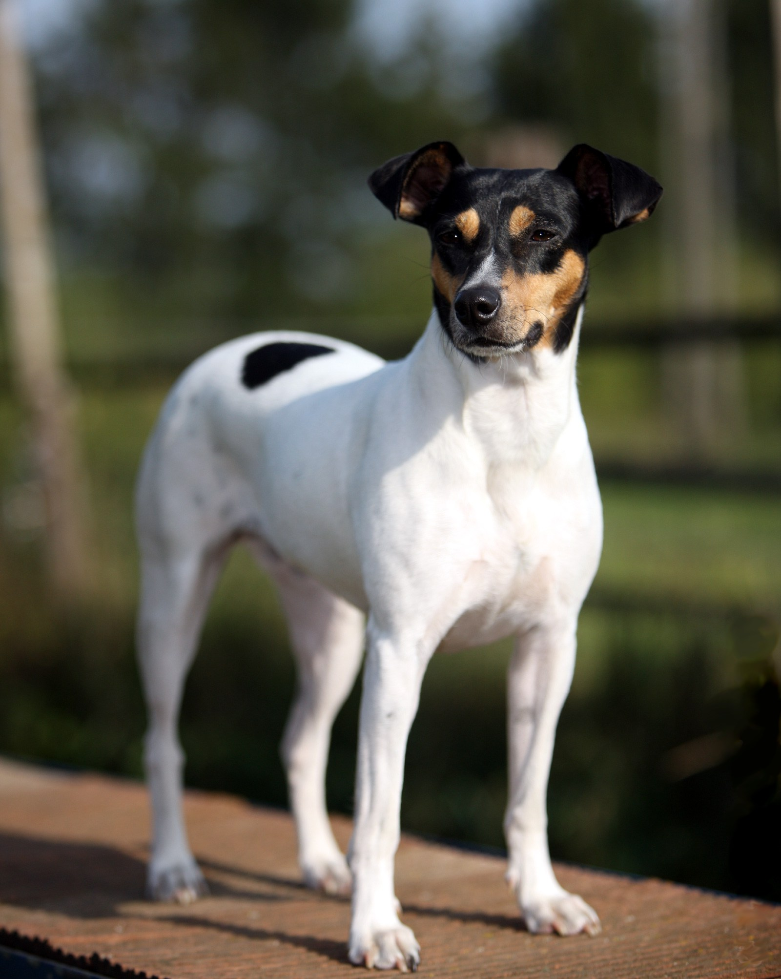 Hunting Terrier Dog Breeds