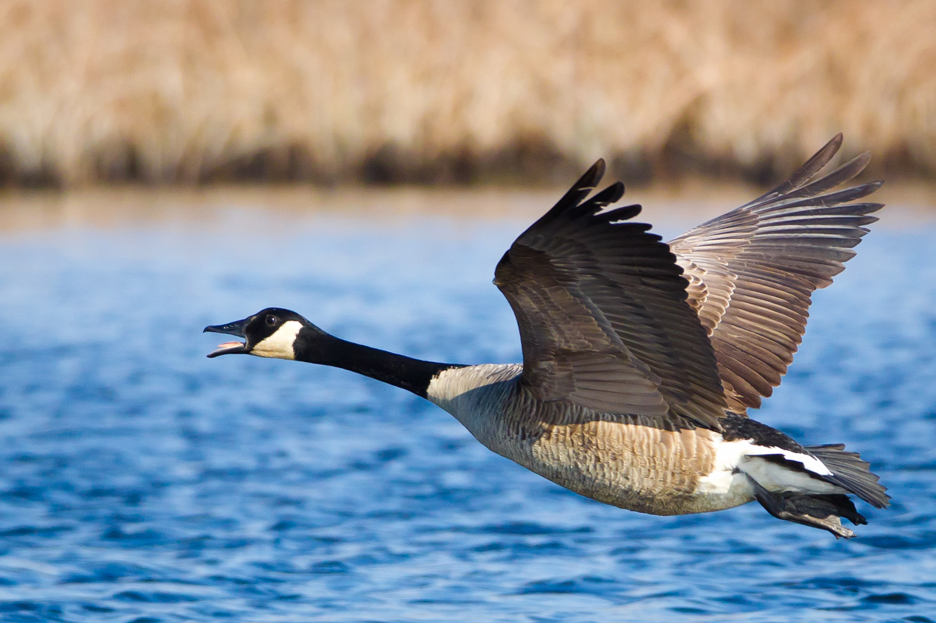 Canada Goose coats sale cheap - File:Branta canadensis -near Oceanville, New Jersey, USA -flying-8 ...