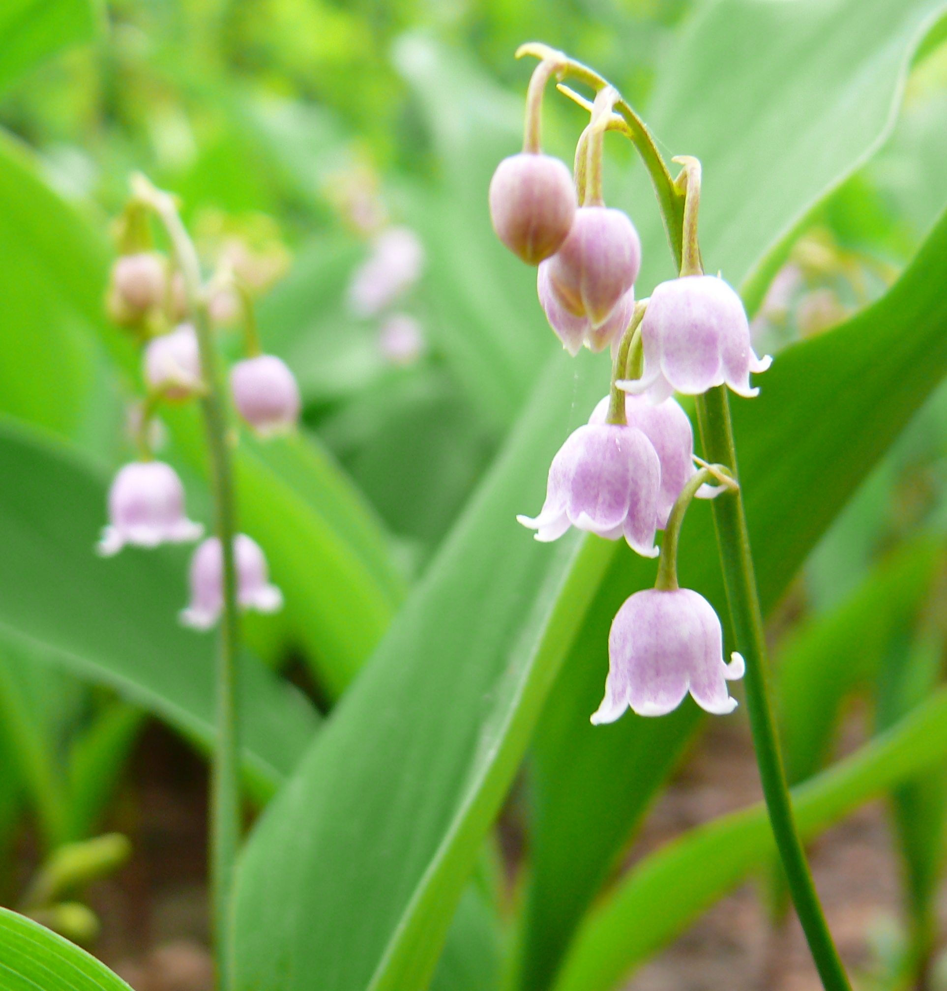 Culture Du Muguet En France may 1st, labor day and may lily day in france