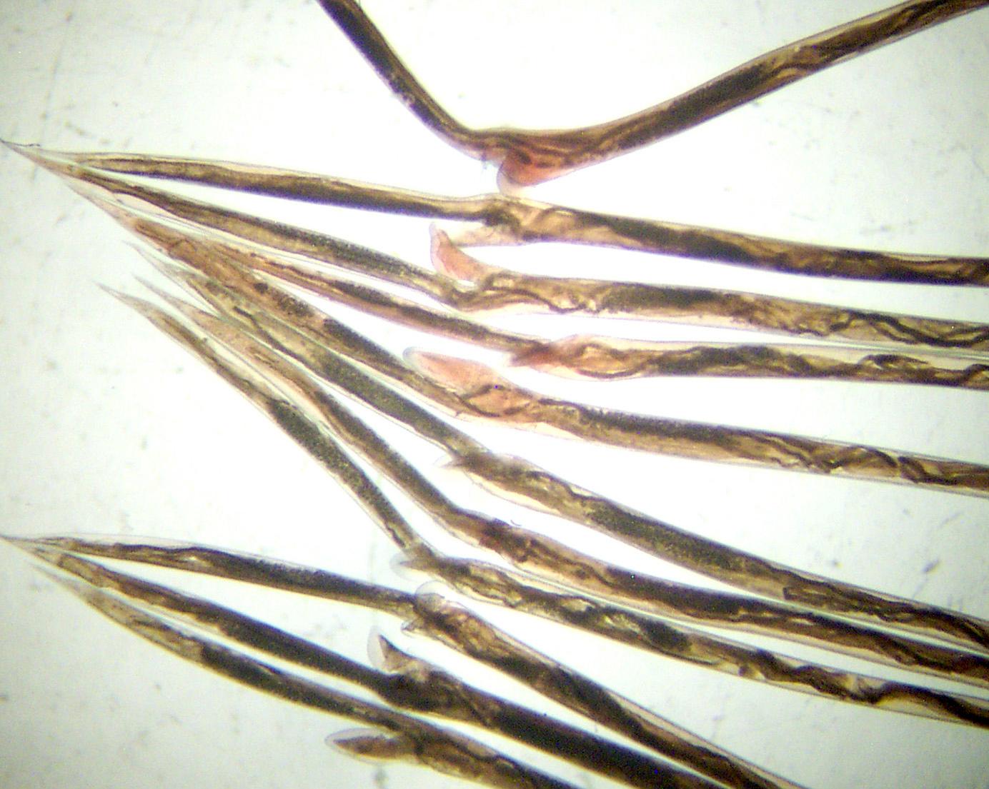 herpferon a genitális szemölcsökből
