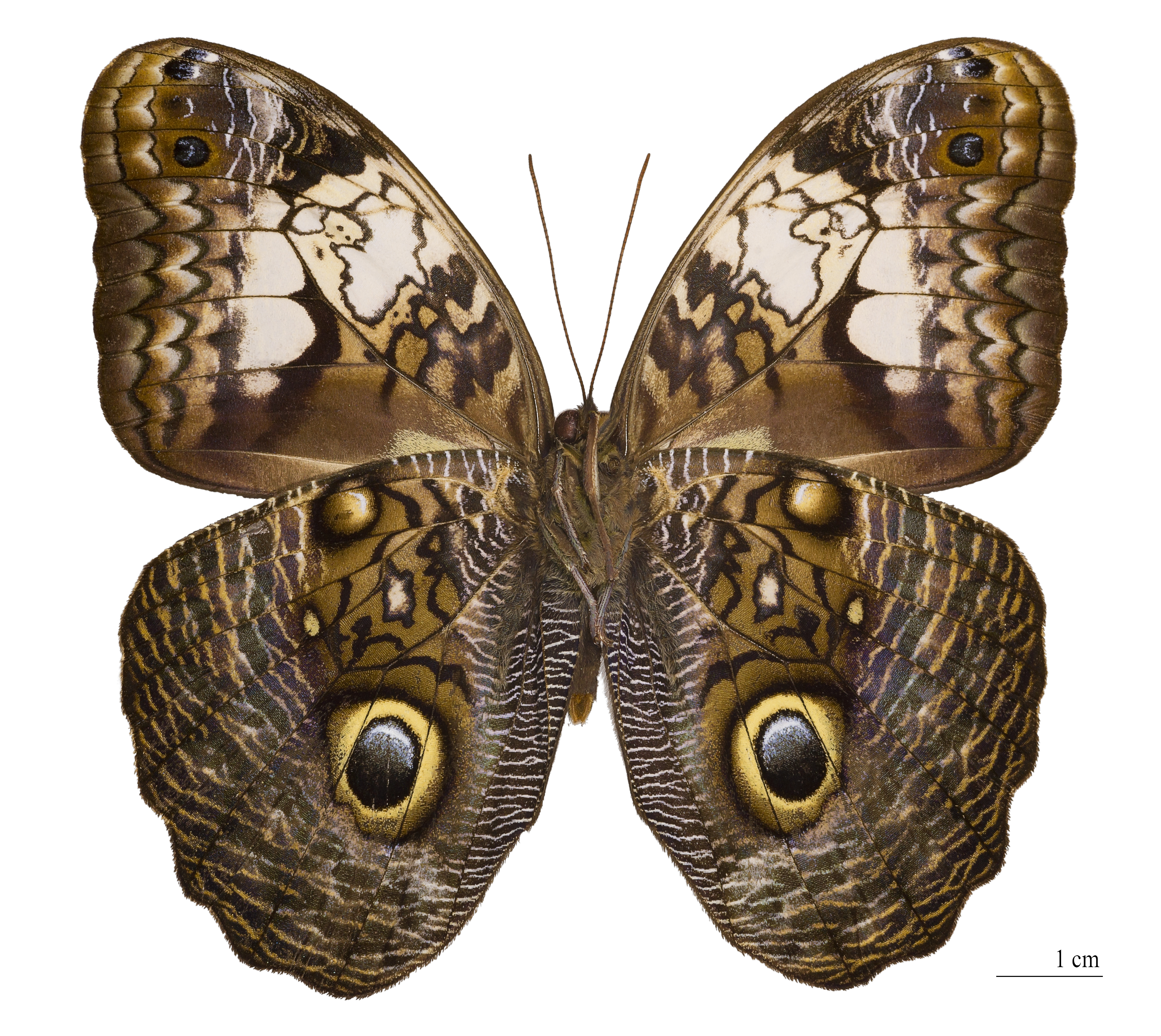 Owl butterfly - photo#13
