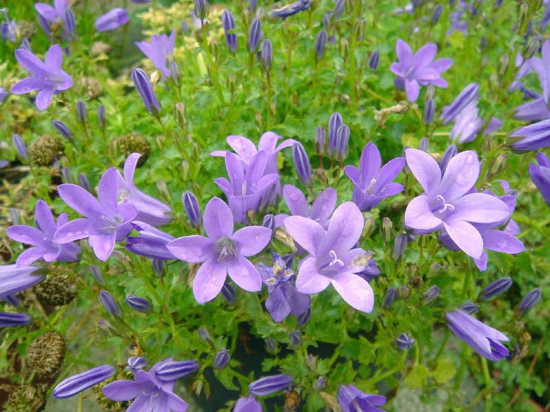 Dalmatiëklokje (Campanula portenschlagiana) plant en bloemen insectenlokkers bijen hommels vlinders foto