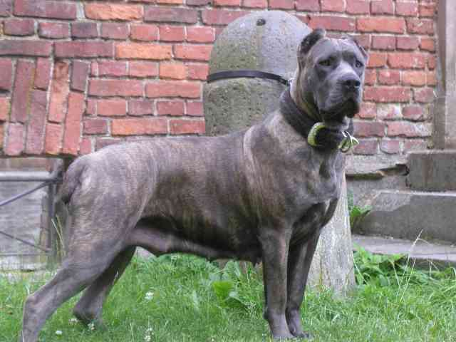 Are Cane Corso Good Running Dogs