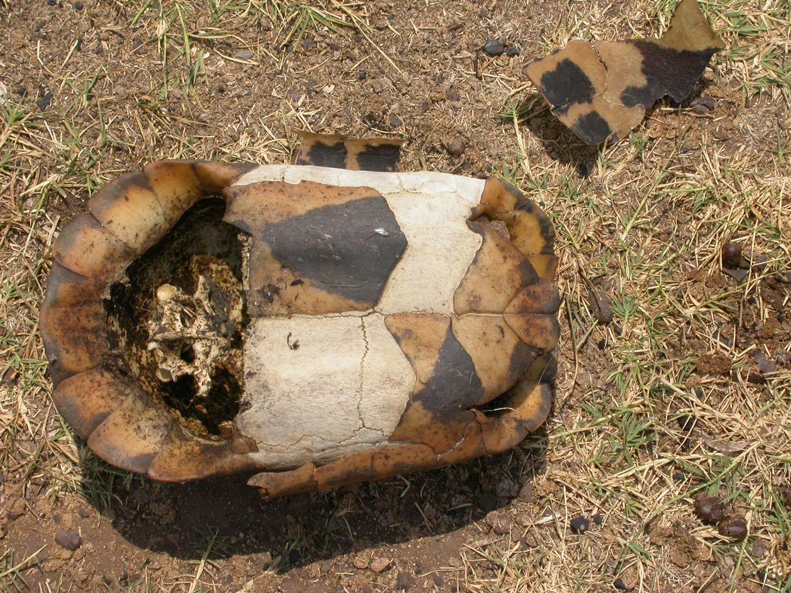 File carapace di testudo marginata femmina lefkada for Laghetto per tartarughe di terra