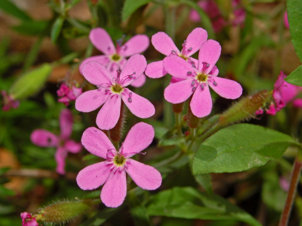 https://upload.wikimedia.org/wikipedia/commons/f/f0/Caryophillaceae_-_Saponaria_ocymoides-2.JPG