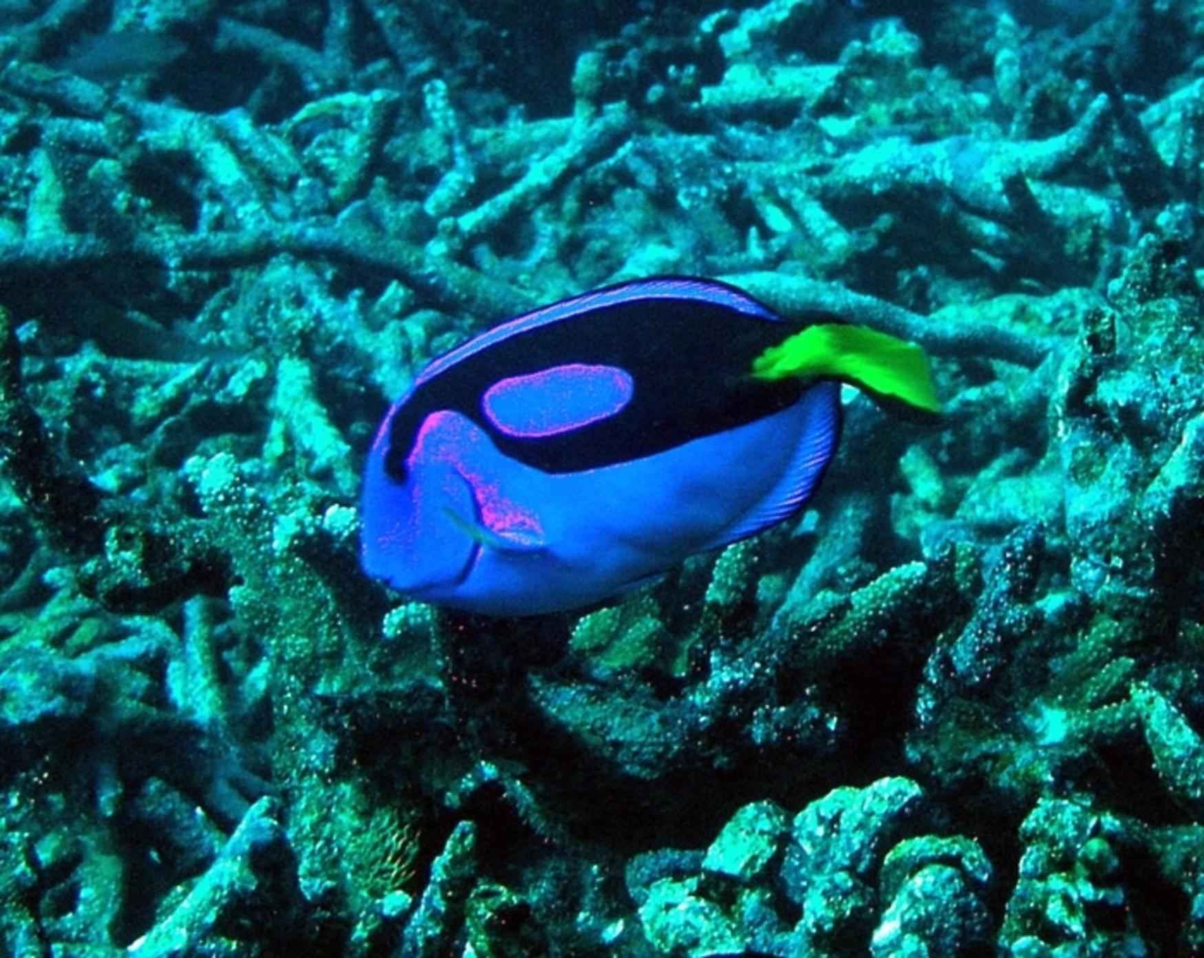 File coral reef fish pacific blue tan paracanthurus for Blue saltwater fish