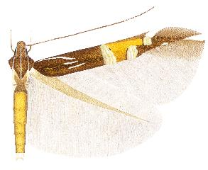 <i>Cosmopterix montisella</i>