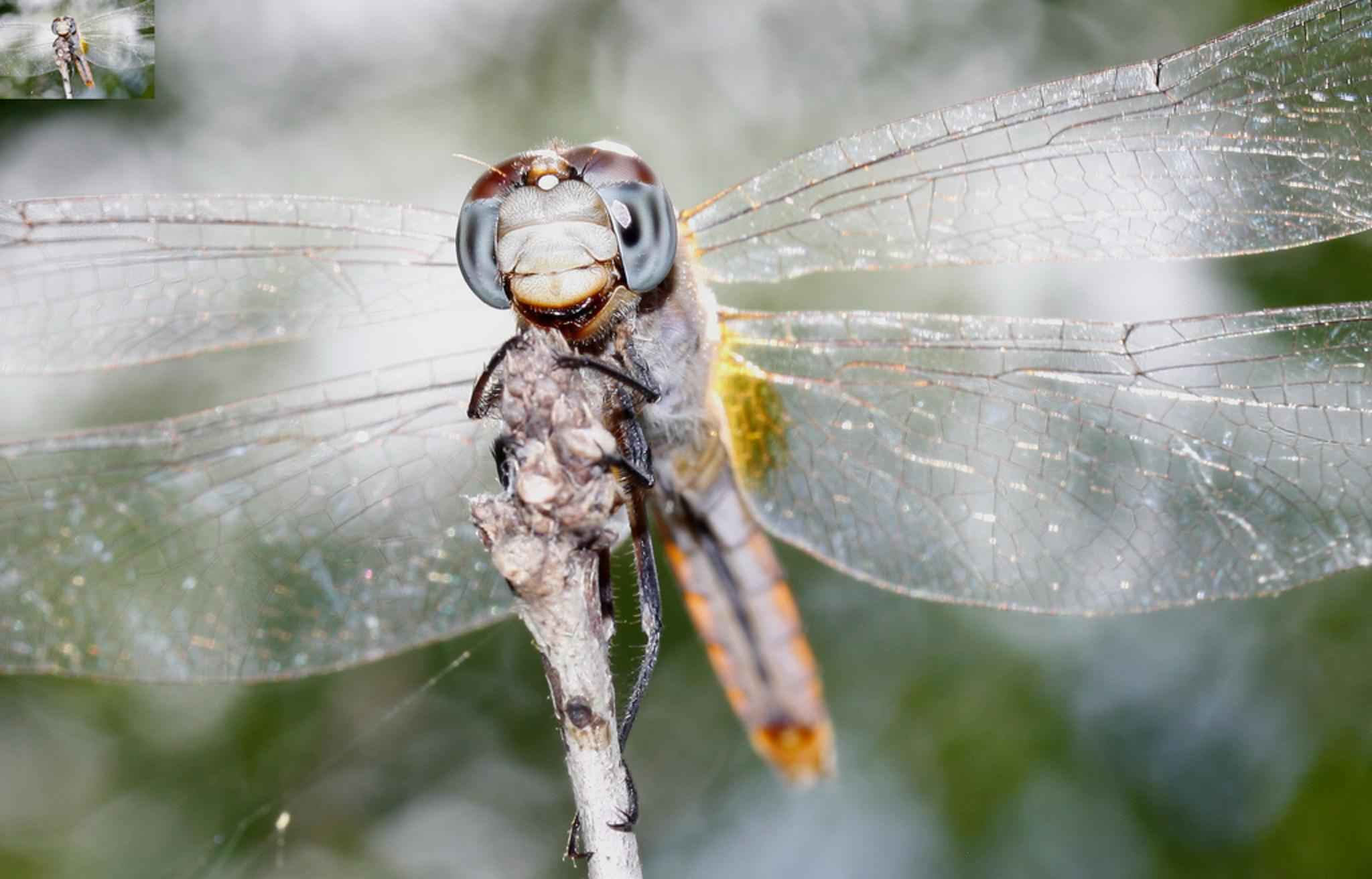 File:Dragonfly close