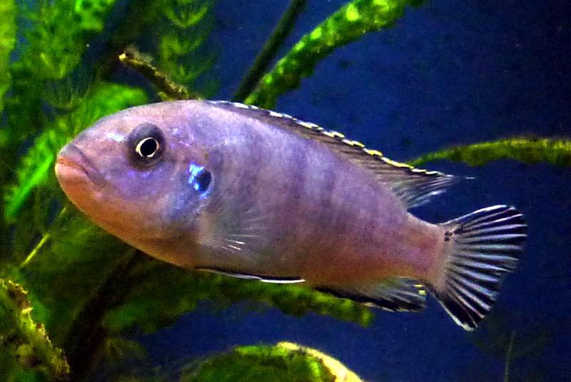File:Eisblauer Maulbr?ter Mbuna Pseudotropheus Socolofi Malawi Female ...