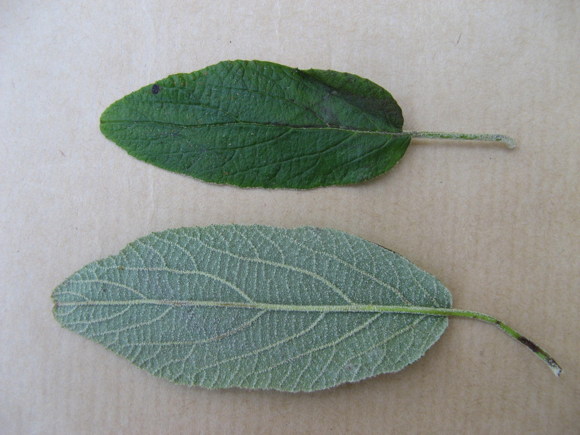 Fichier:Feuilles d\'arbre.jpg — Wikipédia