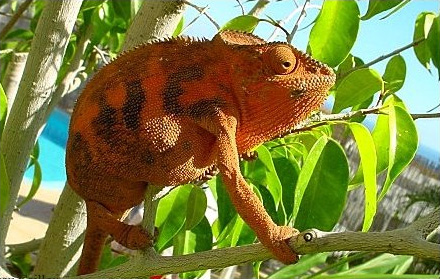 Chameleons As Pets An Overview Of Their Natural History
