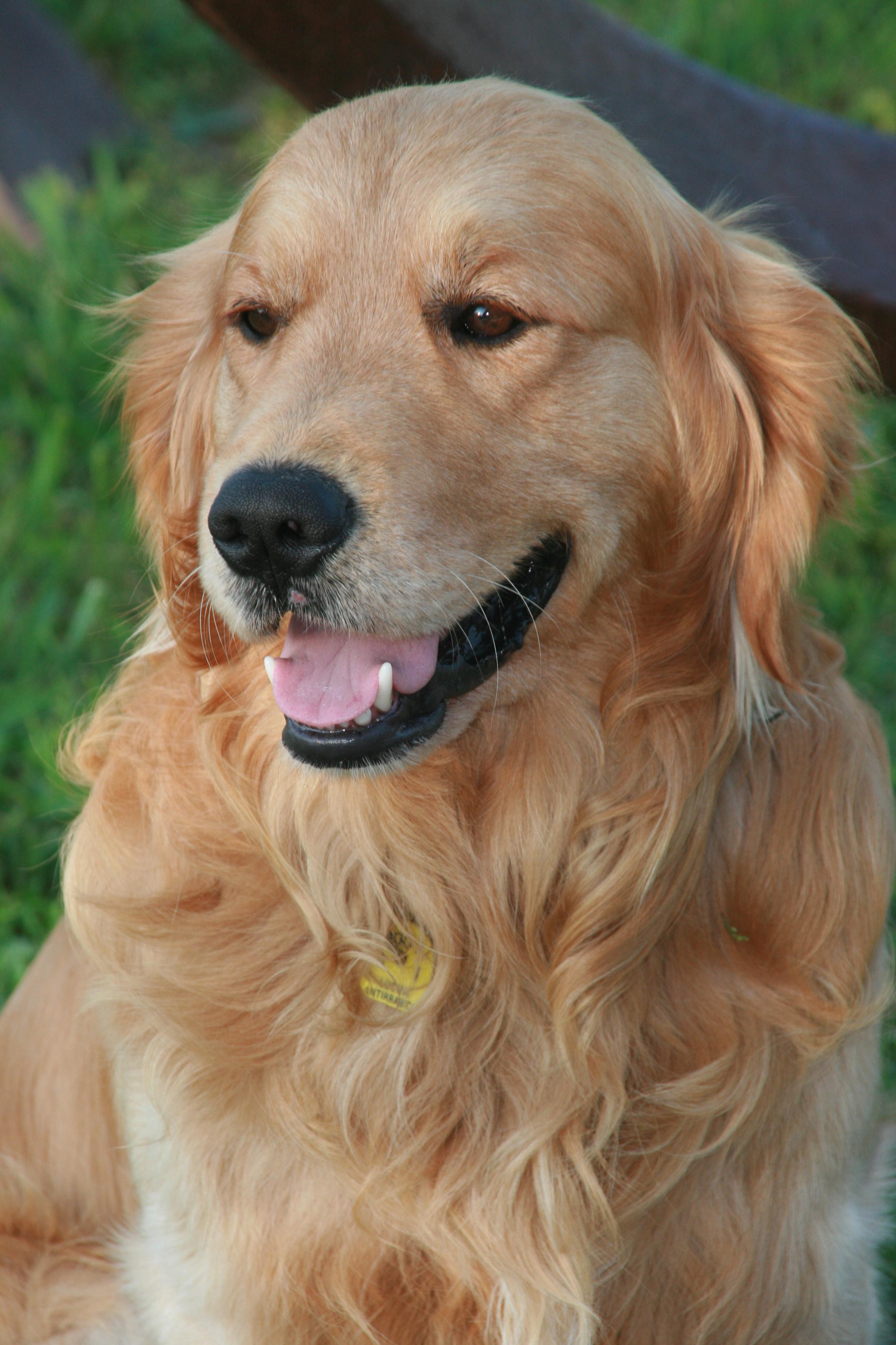 Golden Retriever Wikipédia A Enciclopédia Livre