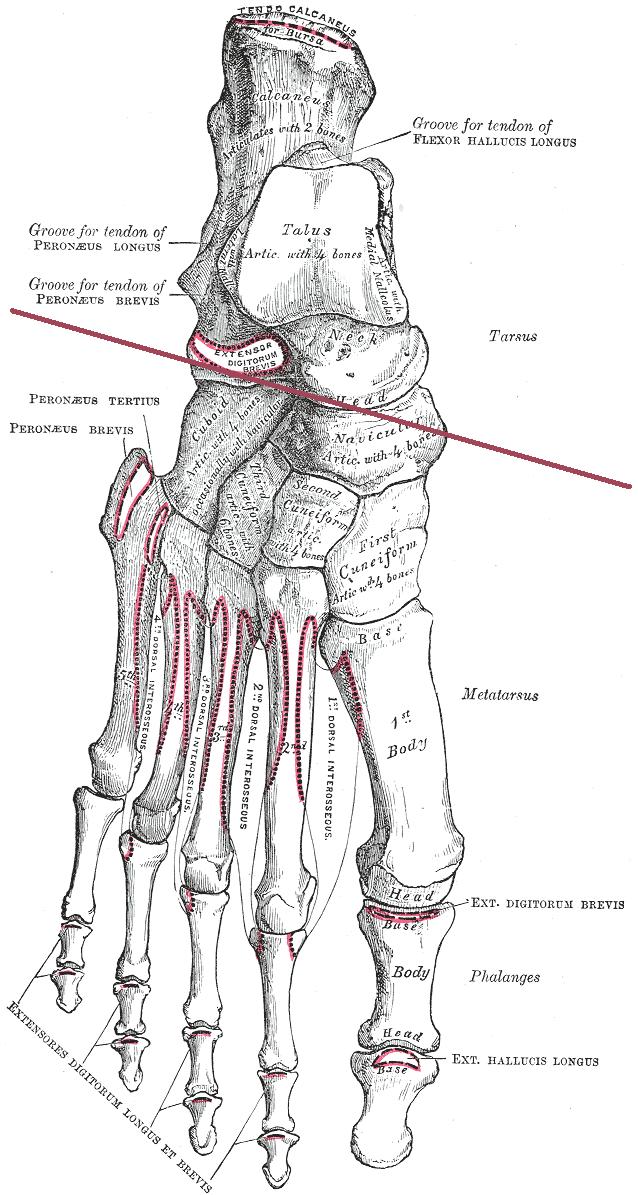 Transverse tarsal joint - Wikipedia