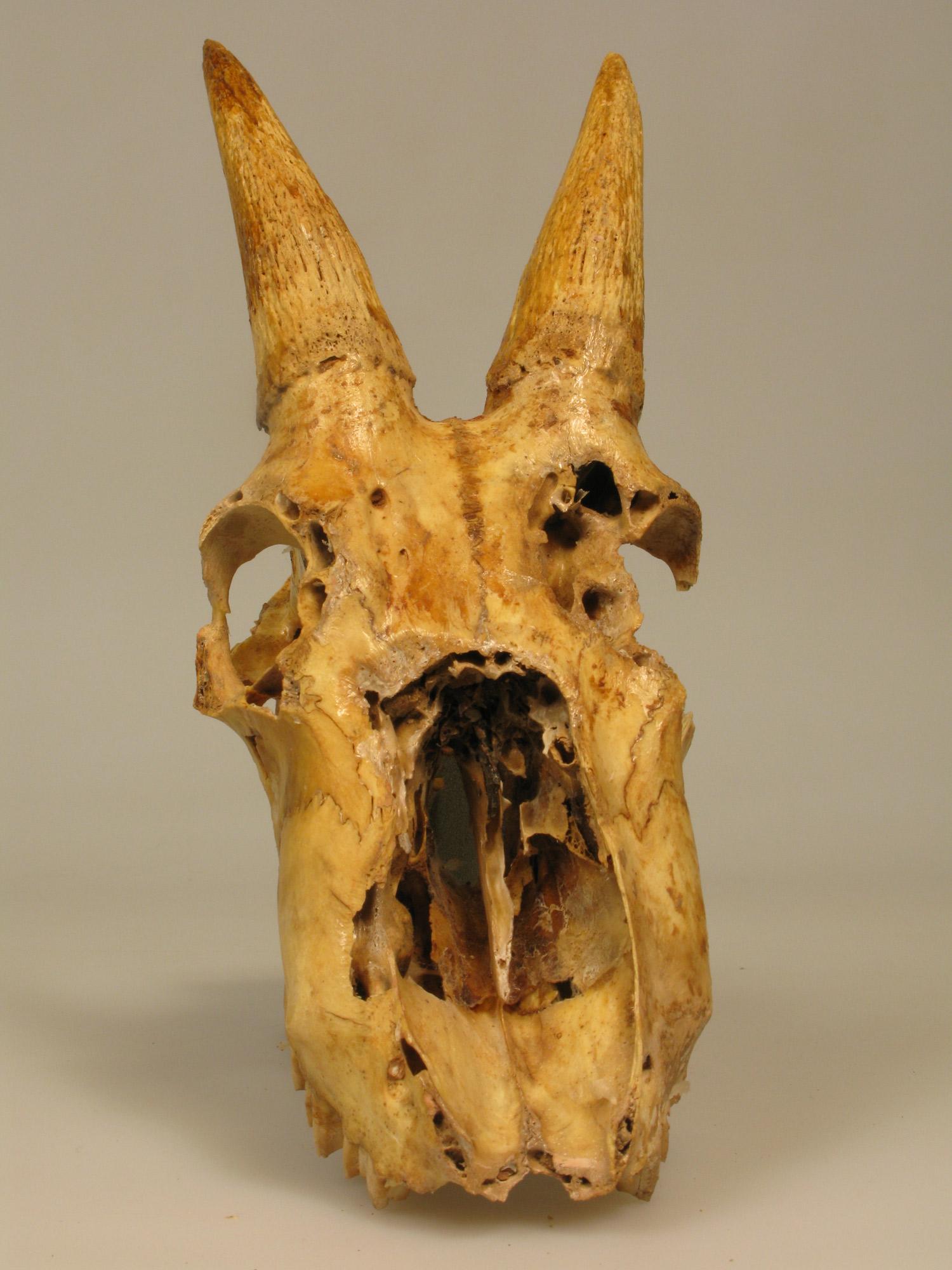 Mountain goat skull - photo#18