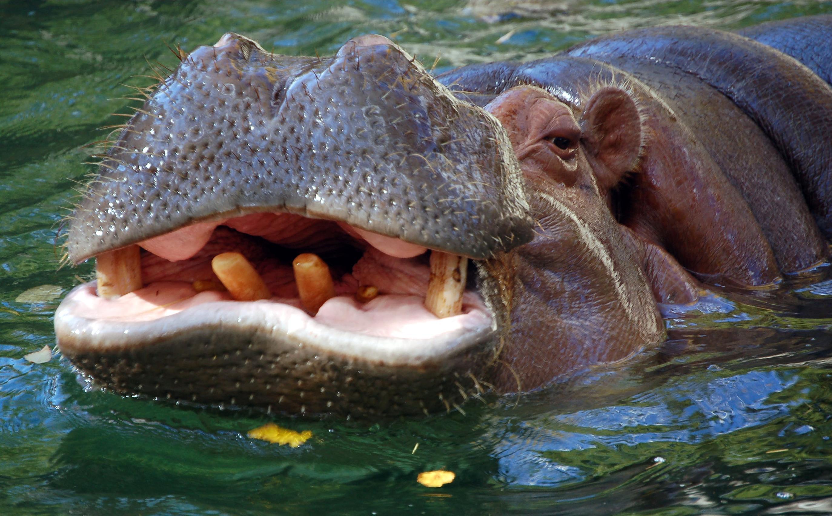 File Hippo Closeup Jpg Wikimedia Commons