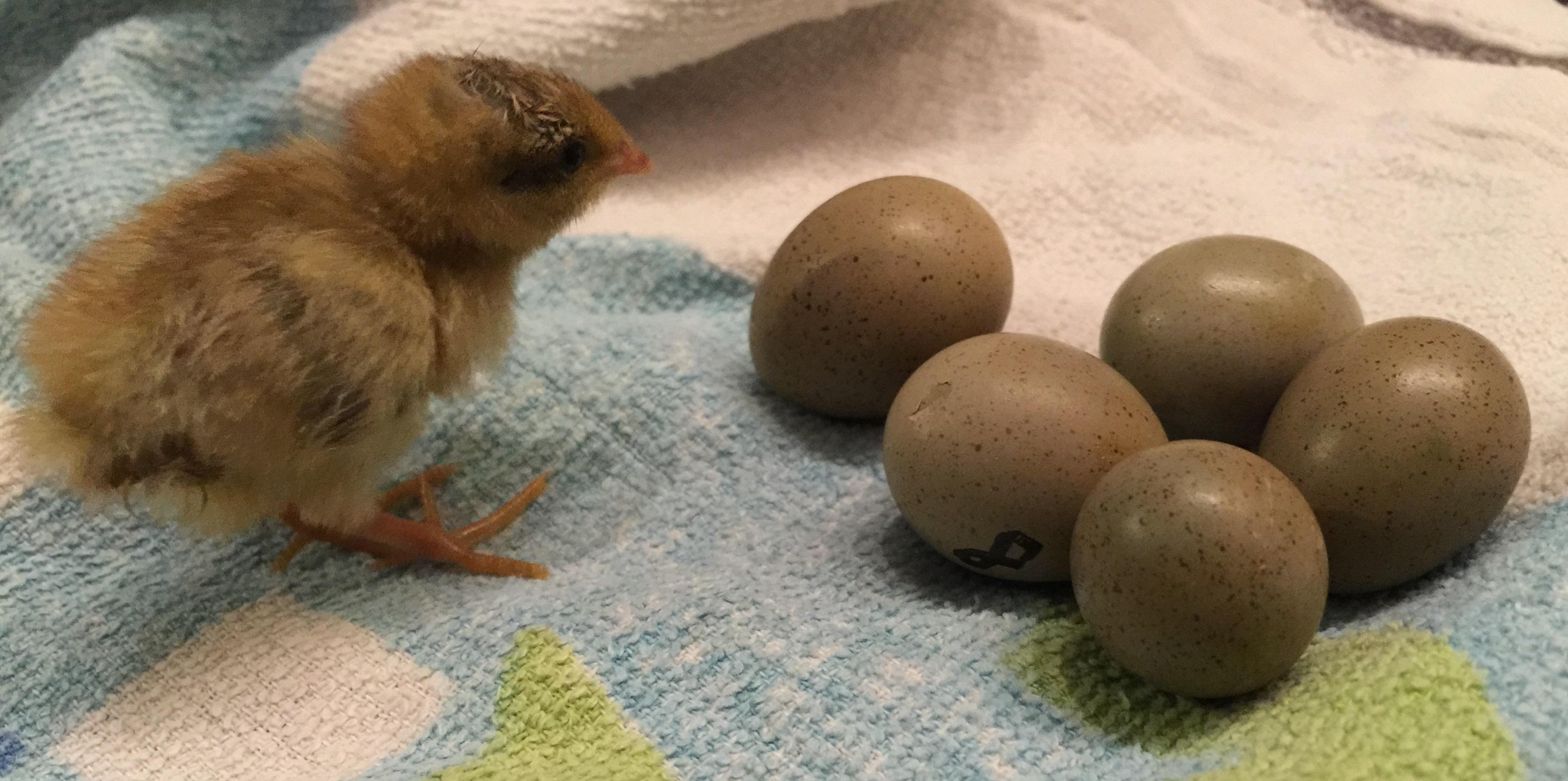 Dateiking Quail Eggs And Baby Bird10daysjpg Wikipedia