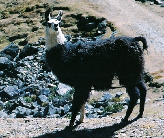 https://upload.wikimedia.org/wikipedia/commons/f/f0/Llama_La_Paz_Bolivia.jpg