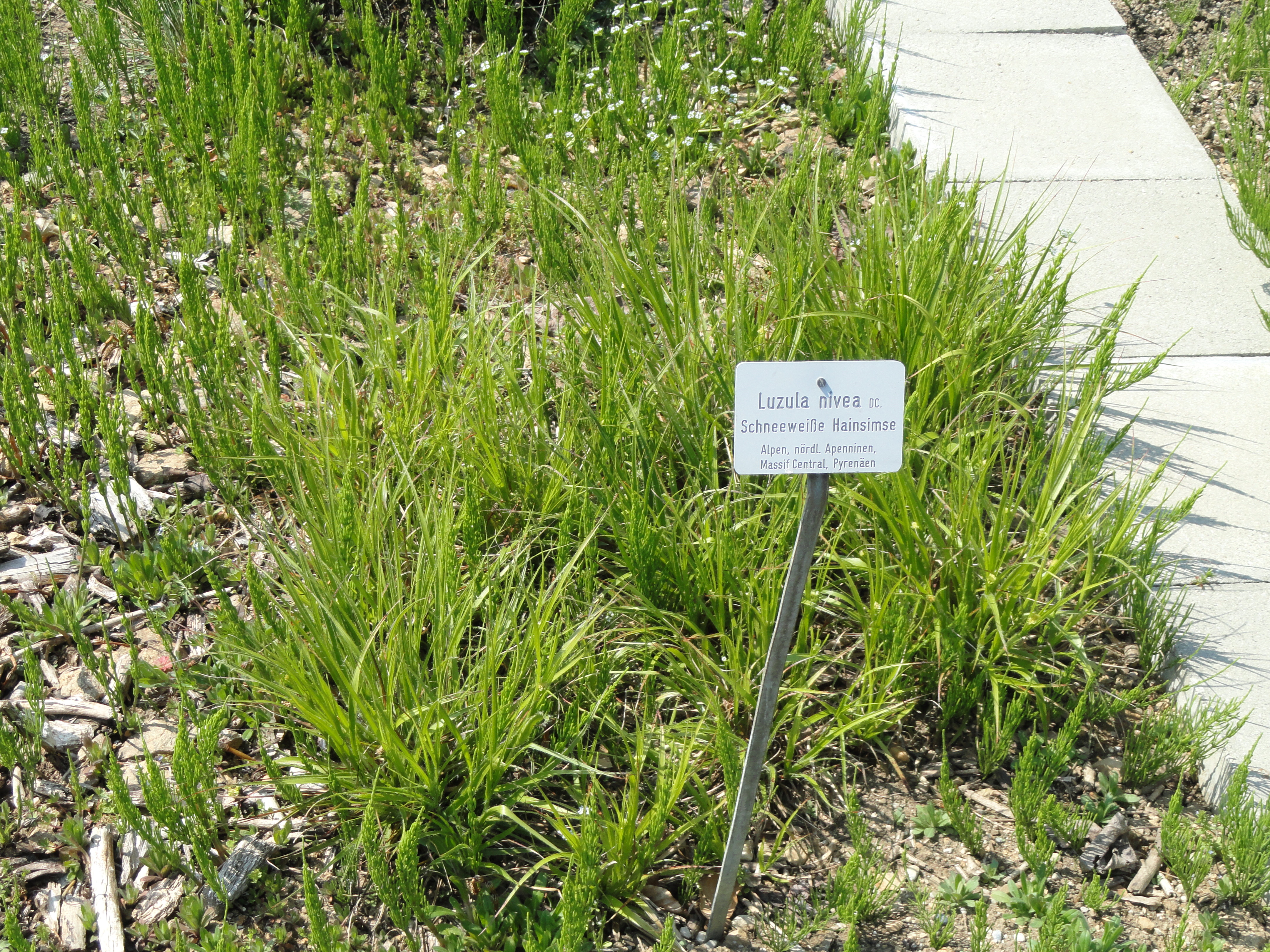 File:Luzula nivea - Botanischer Garten München-Nymphenburg ...