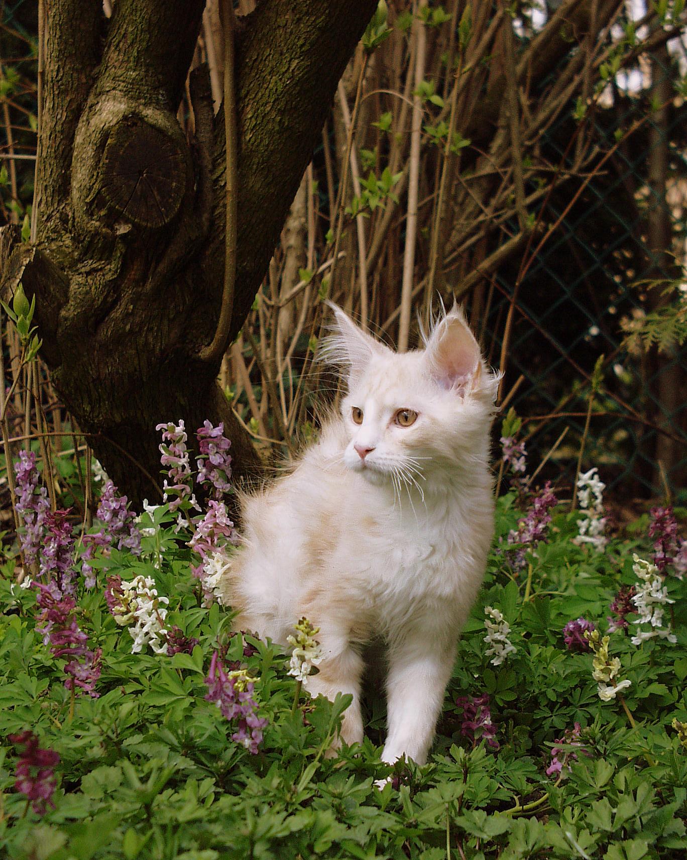 Fichier:Maine Coon Kitten.JPG — Wikipédia Tabby Norwegian Forest Cat