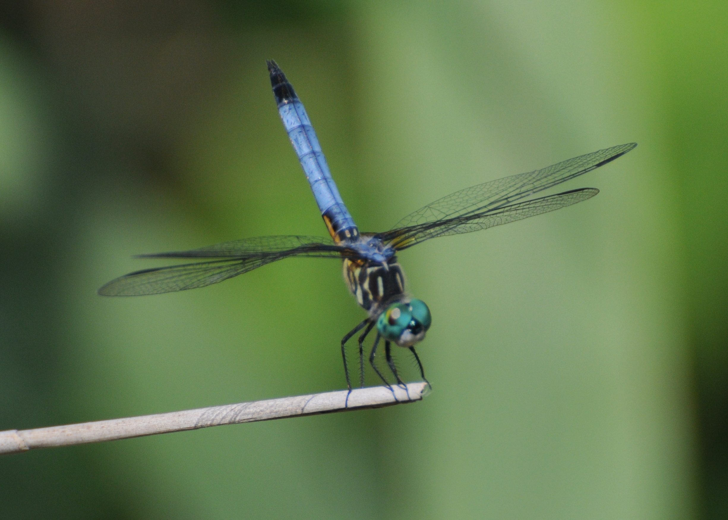 File Manjith Kainickara Blue Dasher Male By Sa Jpg