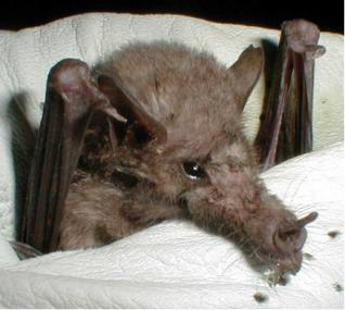 The average adult weight of a Mexican long-tongued bat is 17 grams (0.04 lbs)