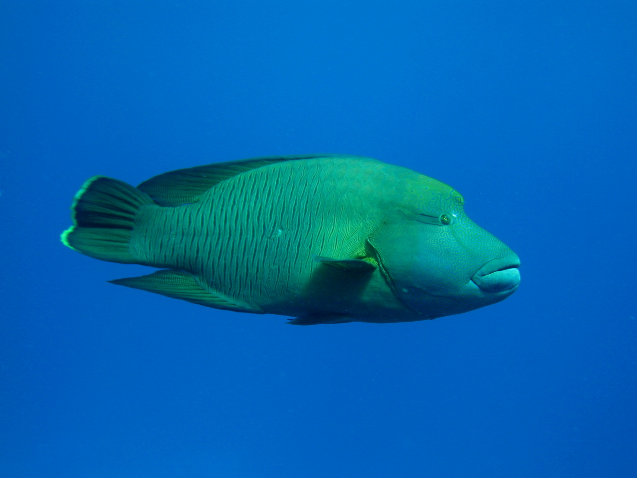 File napoleon wikimedia commons for Image of fish
