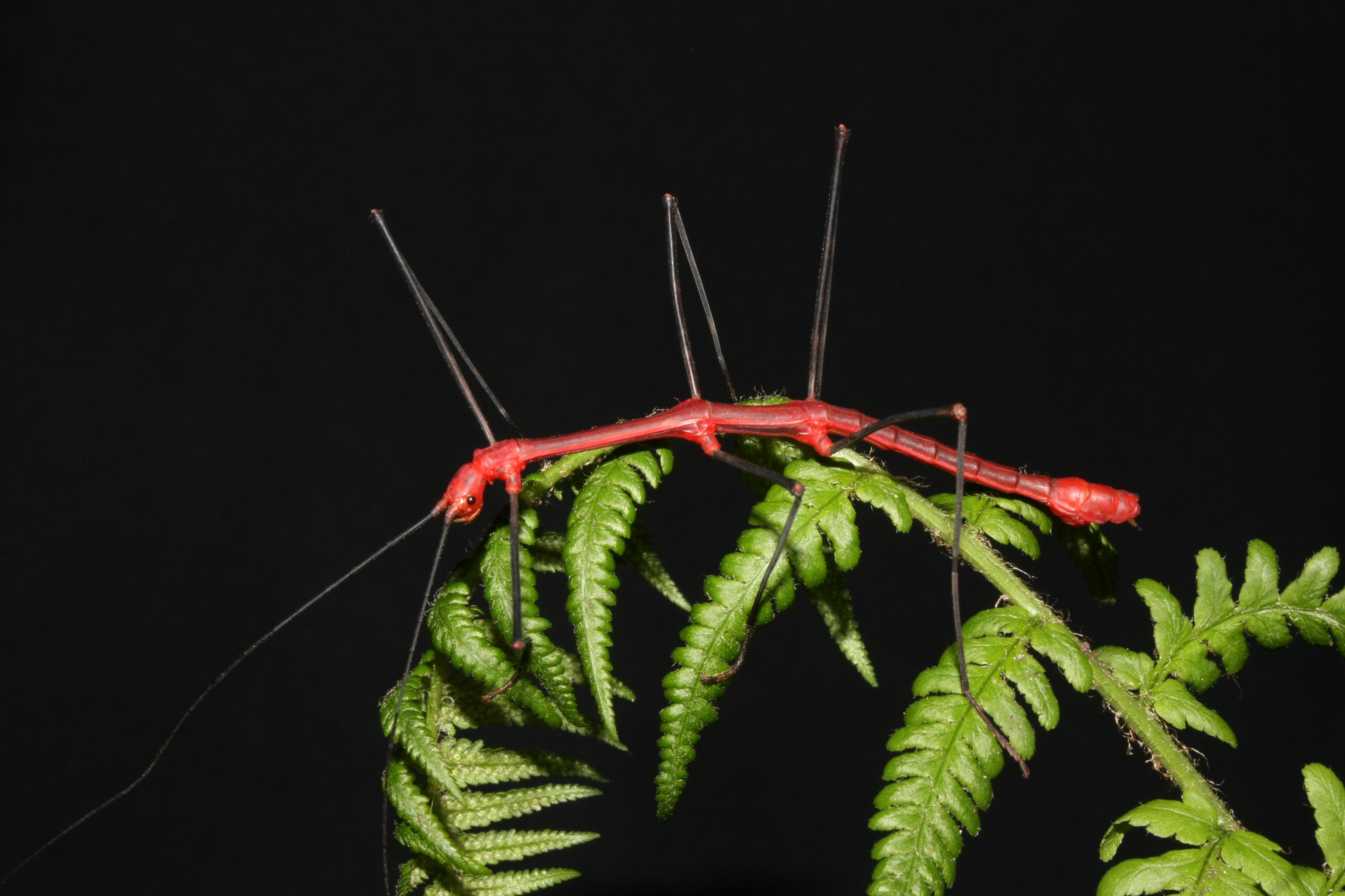 Oreophoetes Peruana