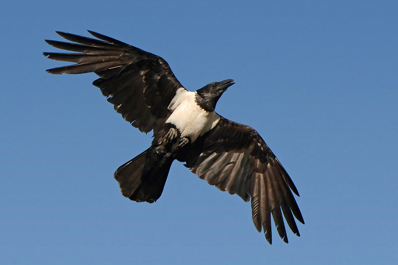 File:Pied crow.jpg - Wikipedia, the free encyclopedia