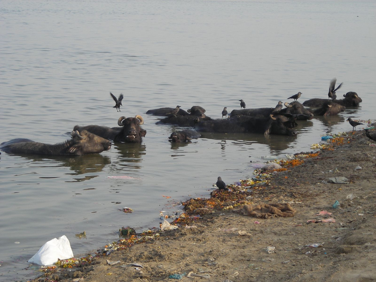 pollution in ganga river essay Essay on ganga river pollution in english, is doing homework on sundays a sin, homework help roman clothes the interpersonal communications paper is the only essay.