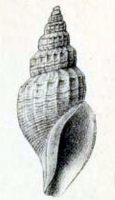 <i>Propebela scalaroides</i> species of mollusc