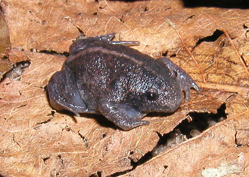 Image result for mexican burrowing frog