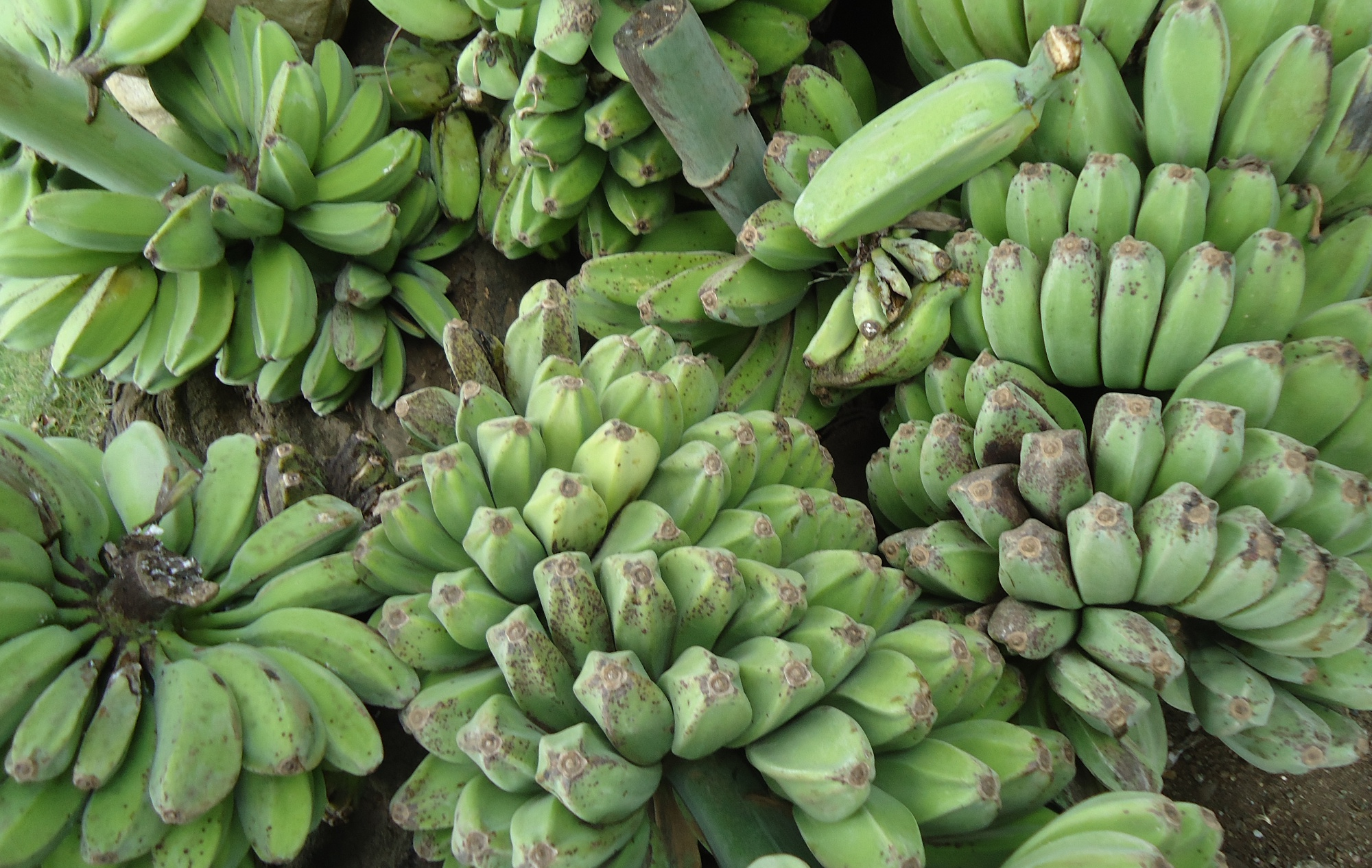saba banana The saba banana is a type of banana that originated the philippines while most bananas are eaten raw, the saba banana is commonly cooked in different menu.