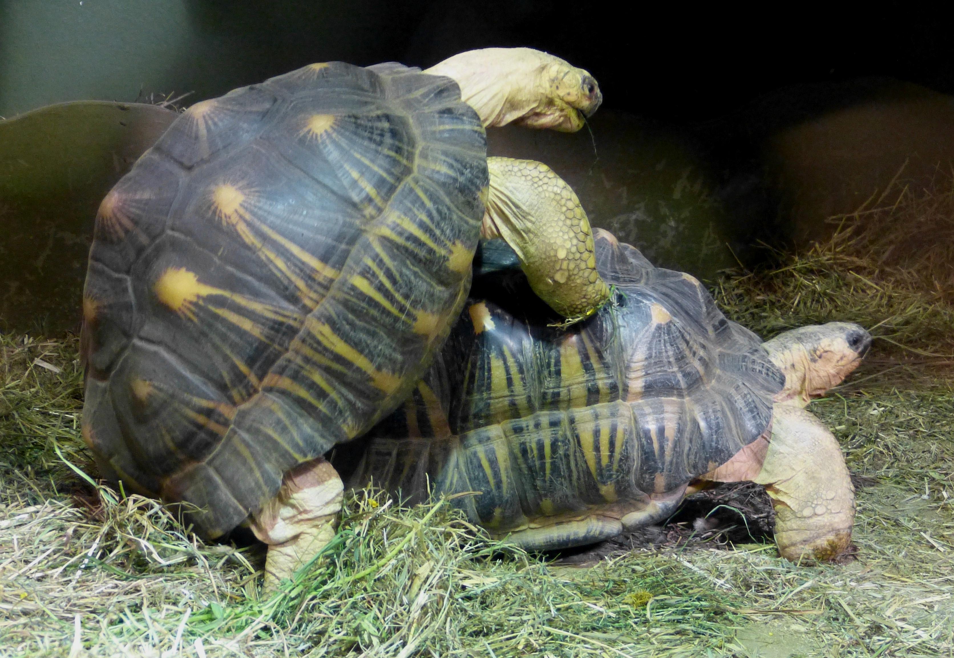 File Salzburg Haus der Natur Gelbkopfschildkröte 1