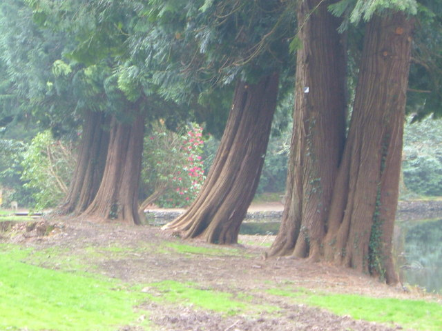 Sequoias at Holne Park - geograph.org.uk - 128210