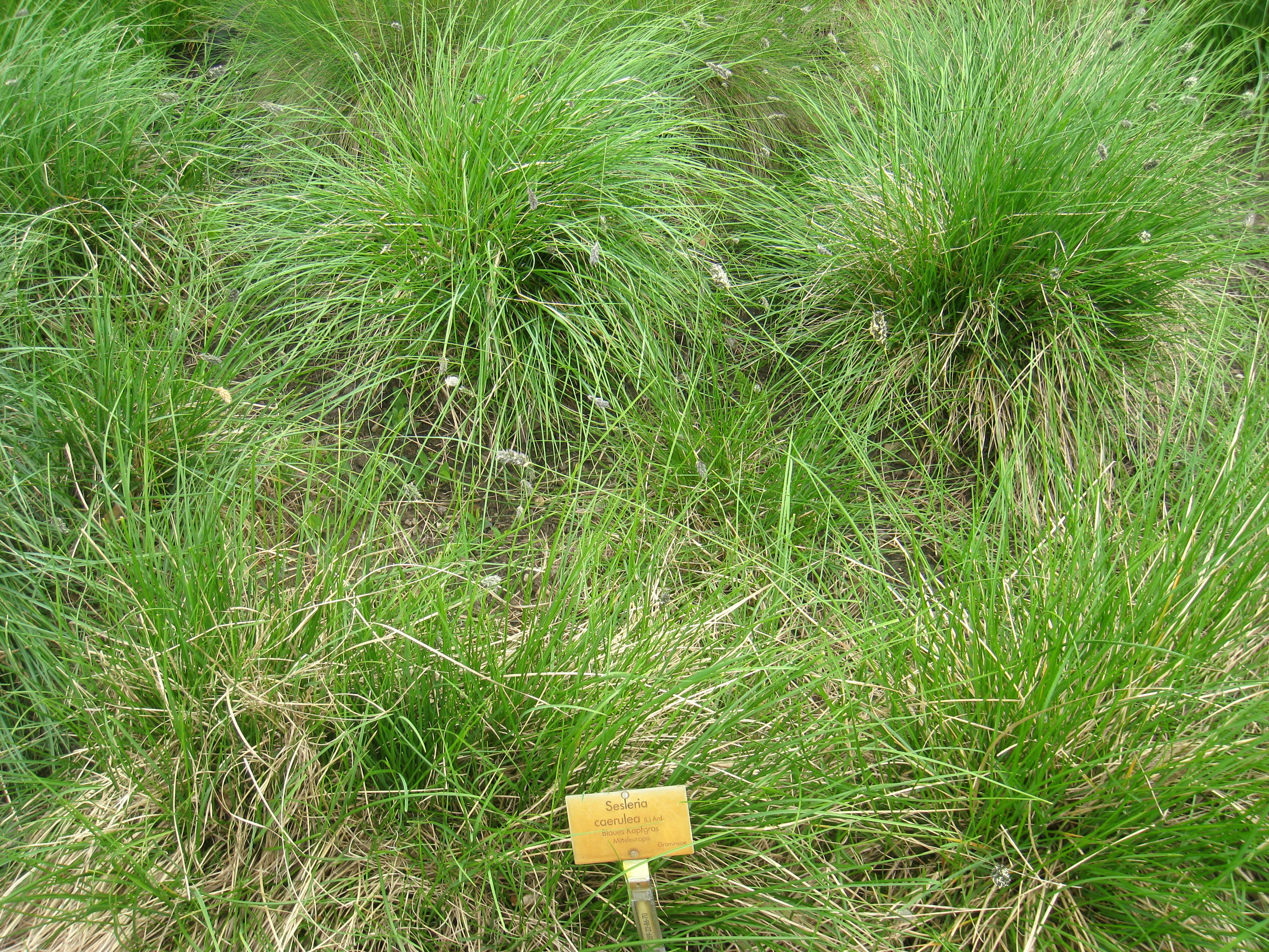 Blue Moor Grass