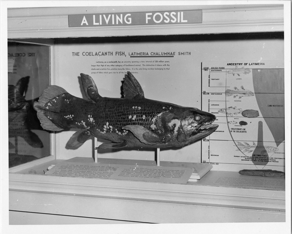 A a coelacanth, Latimeria chalumnae Smitha, or living fossil fish on display in the Untied States National Museum. (Courtesy of Smithsonian Institution Archives)