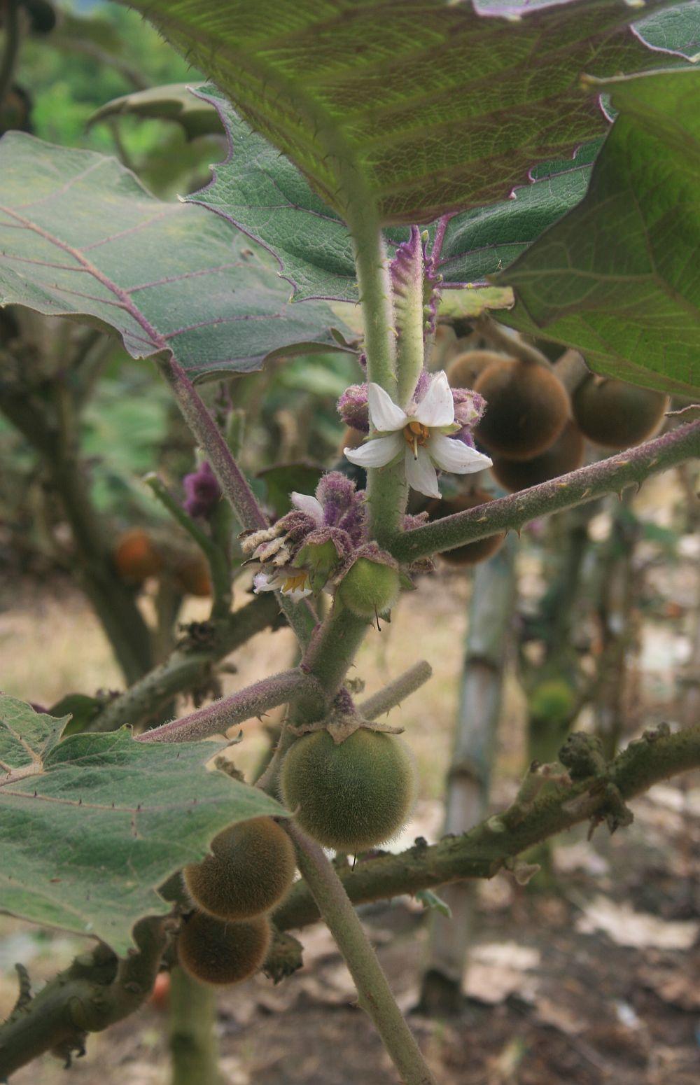 Solanum quitoense - Wikispecies