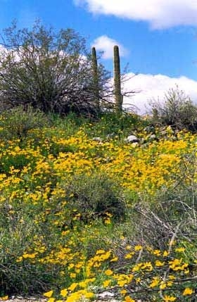 Mexican goldpoppies in the Sonoran Desert National Monument Sondes.jpg