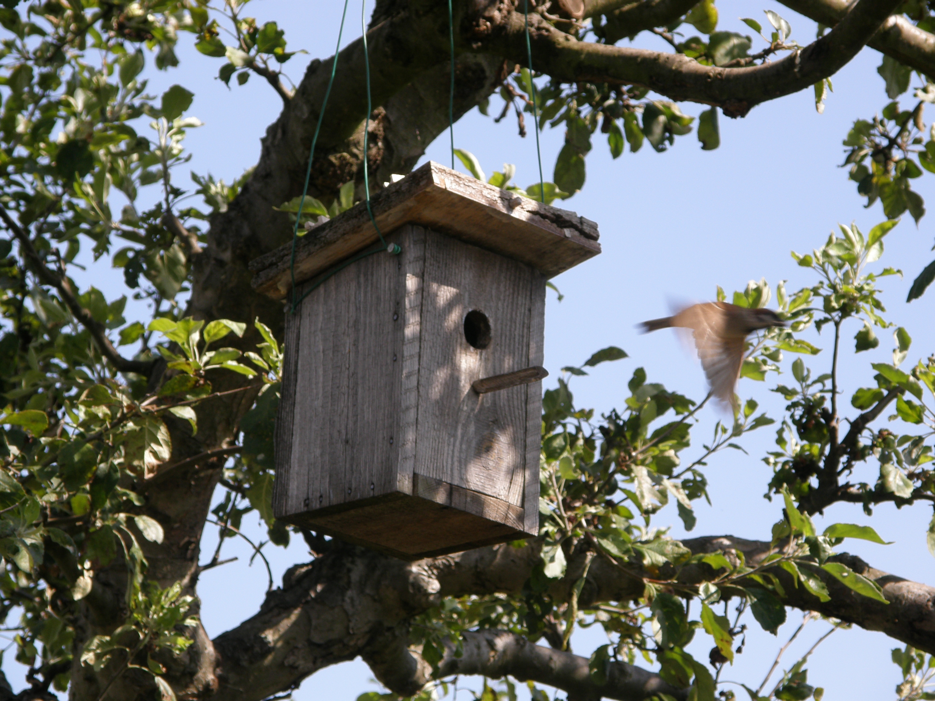 Related keywords suggestions for house sparrows annoying for Sparrow birdhouse plans